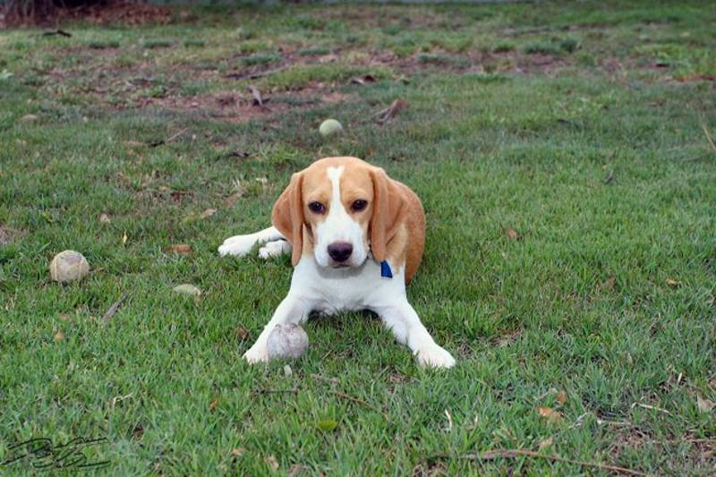 Beagle Puppies-BUY AND SELL-Music/CD's-BLACKTOWN
